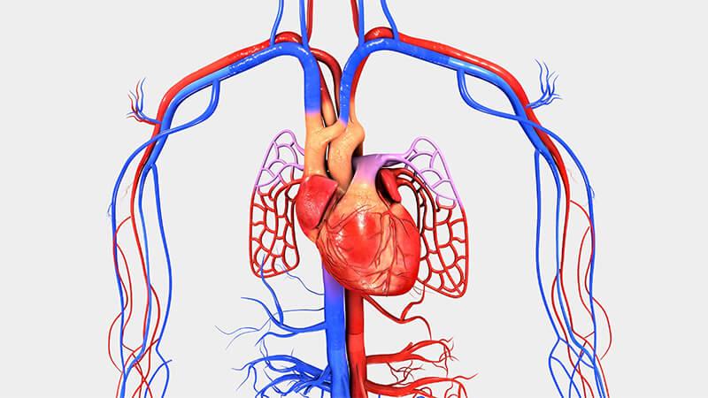 Apa Itu Sistem Peredaran Darah Manusia ?