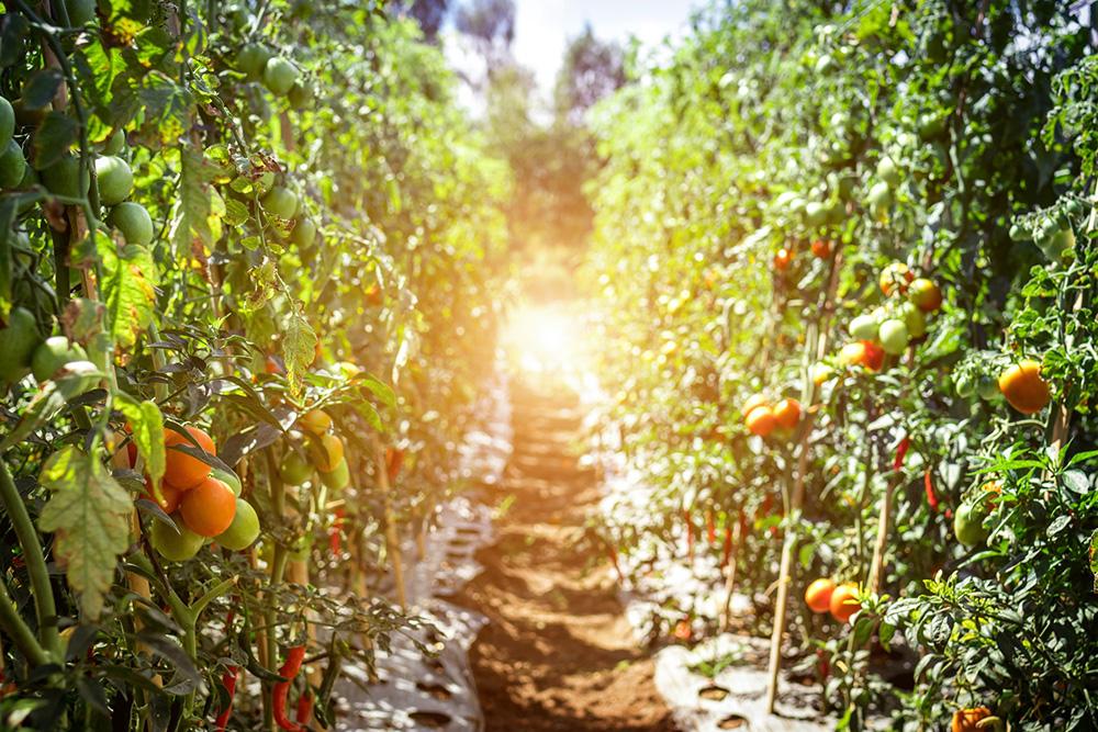 pertanian-organik